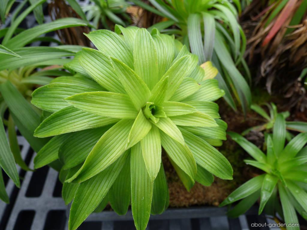 Greensword - leaves (Argyroxiphium grayanum)