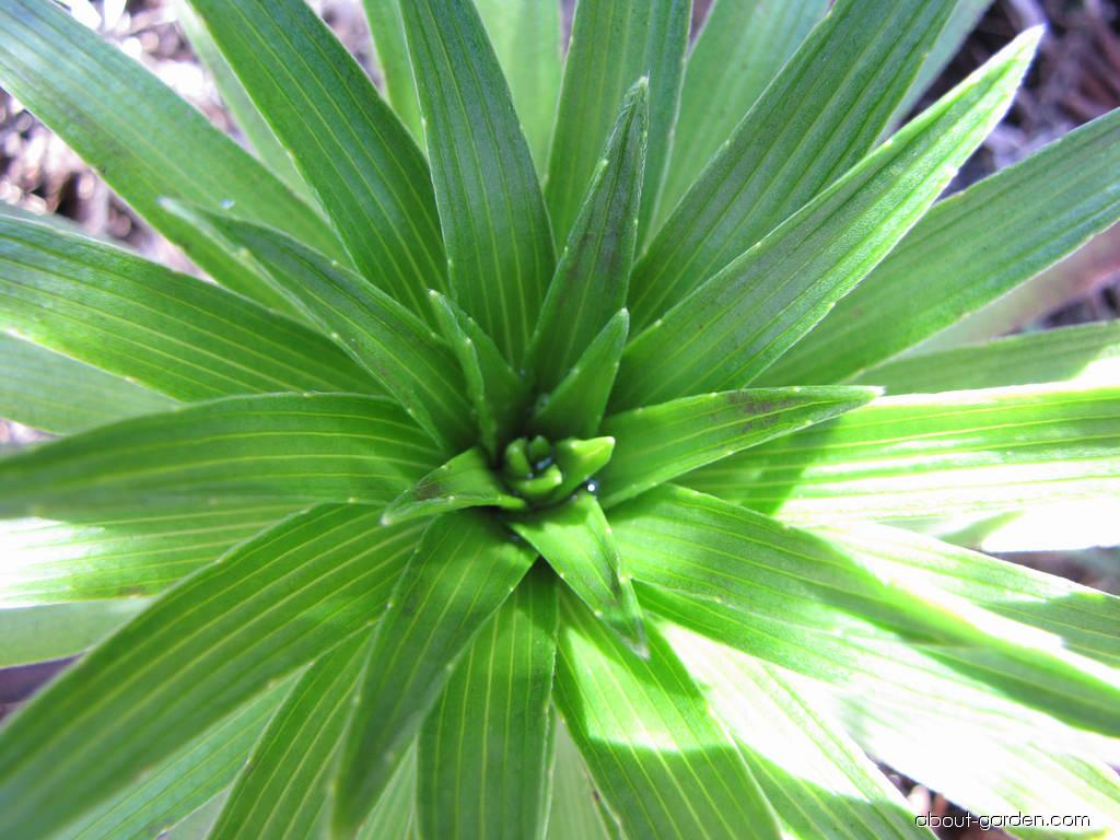 Greensword - rosette (Argyroxiphium grayanum)