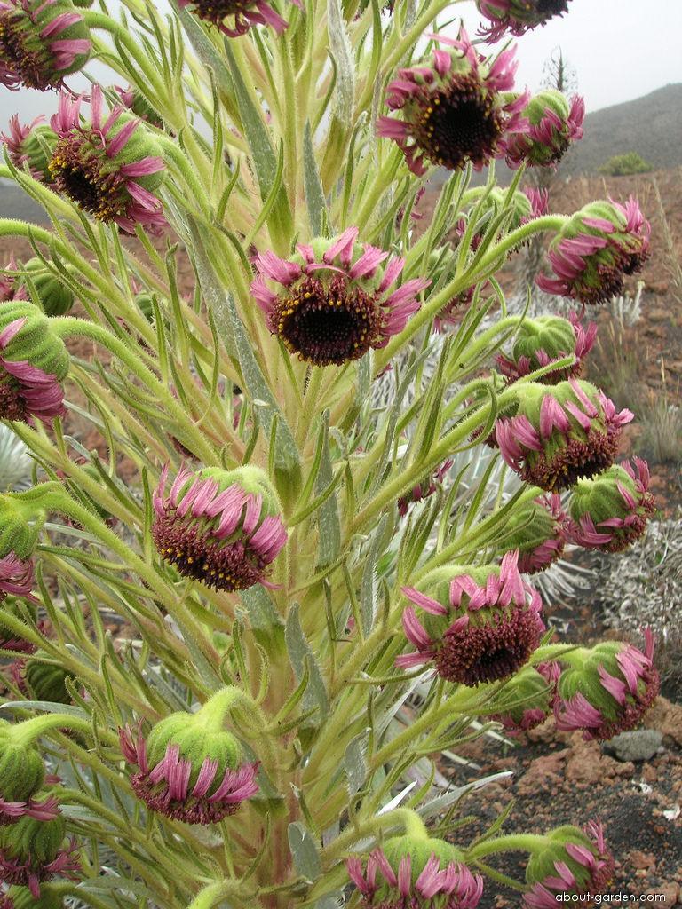 Haleakala silversword - flowers (Argyroxiphium sandwicense subsp macrocephalum)