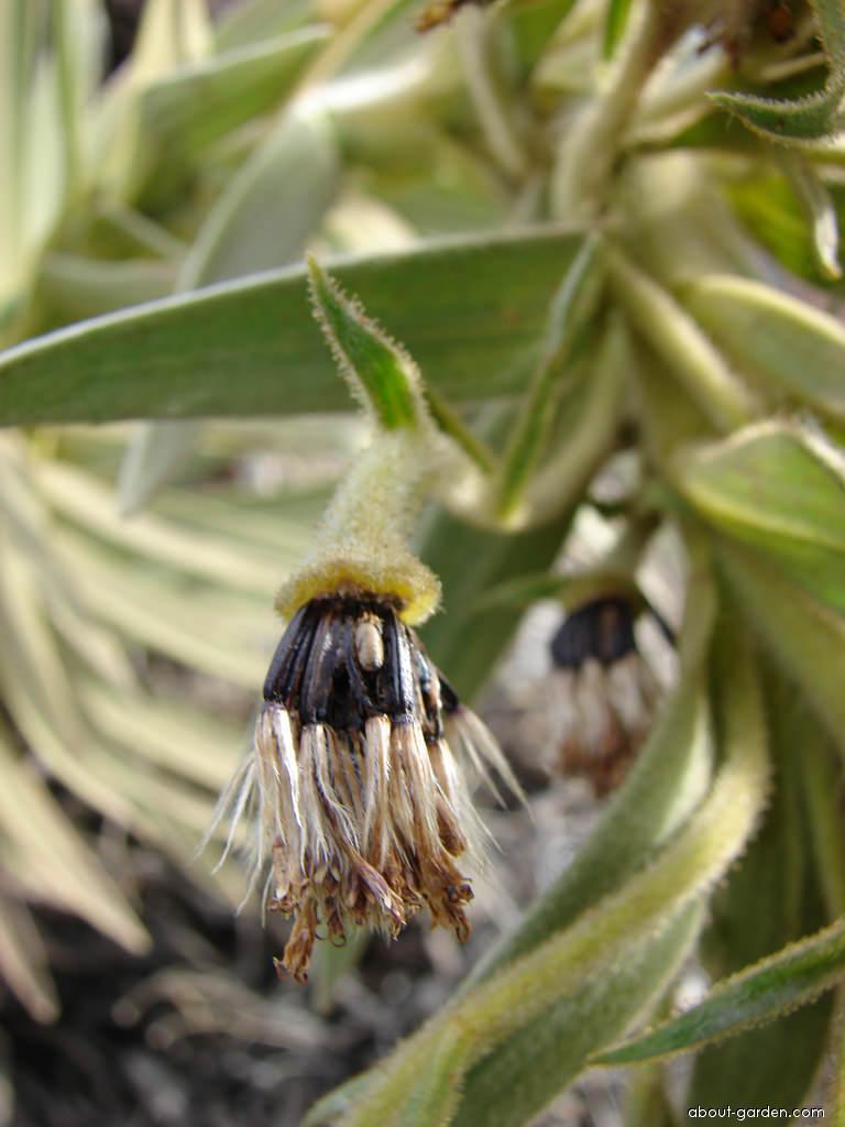Silversword - seeds (Argyroxiphium)