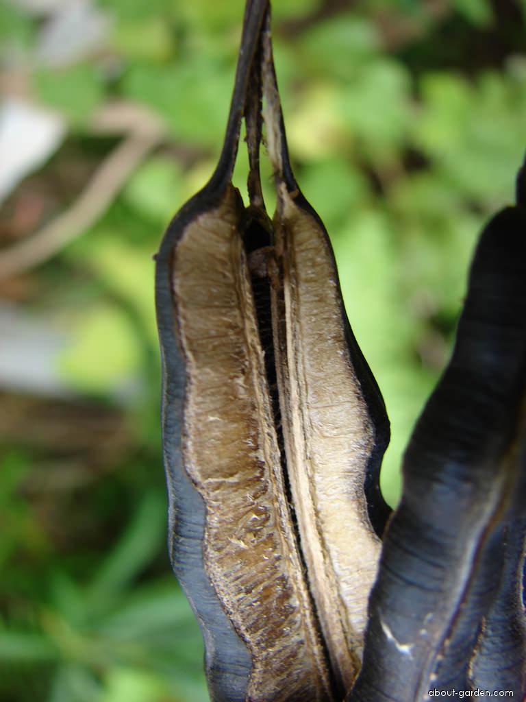 Calico flower - dehisced fruit (Aristolochia littoralis)