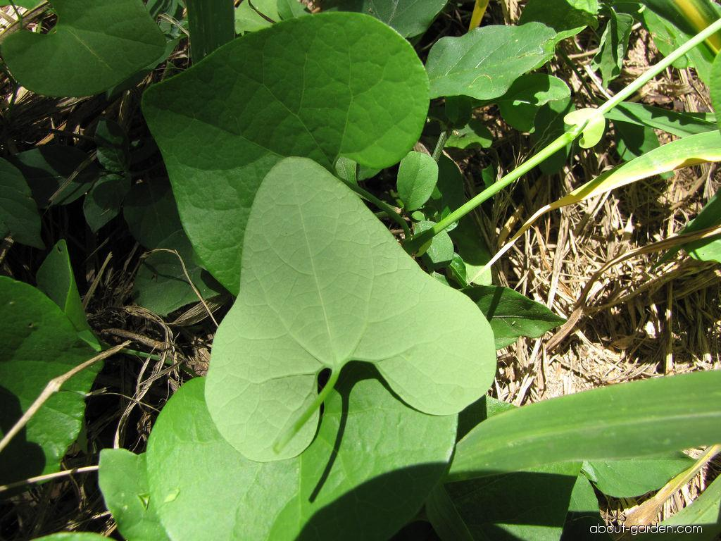 Calico flower - leaves (Aristolochia littoralis)