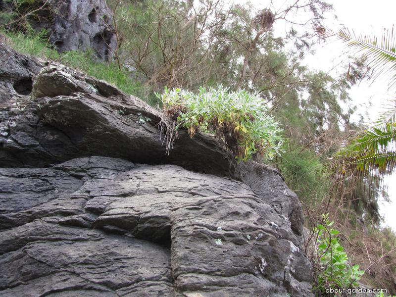 Oahu Wormwood - habit (Artemisia australis)