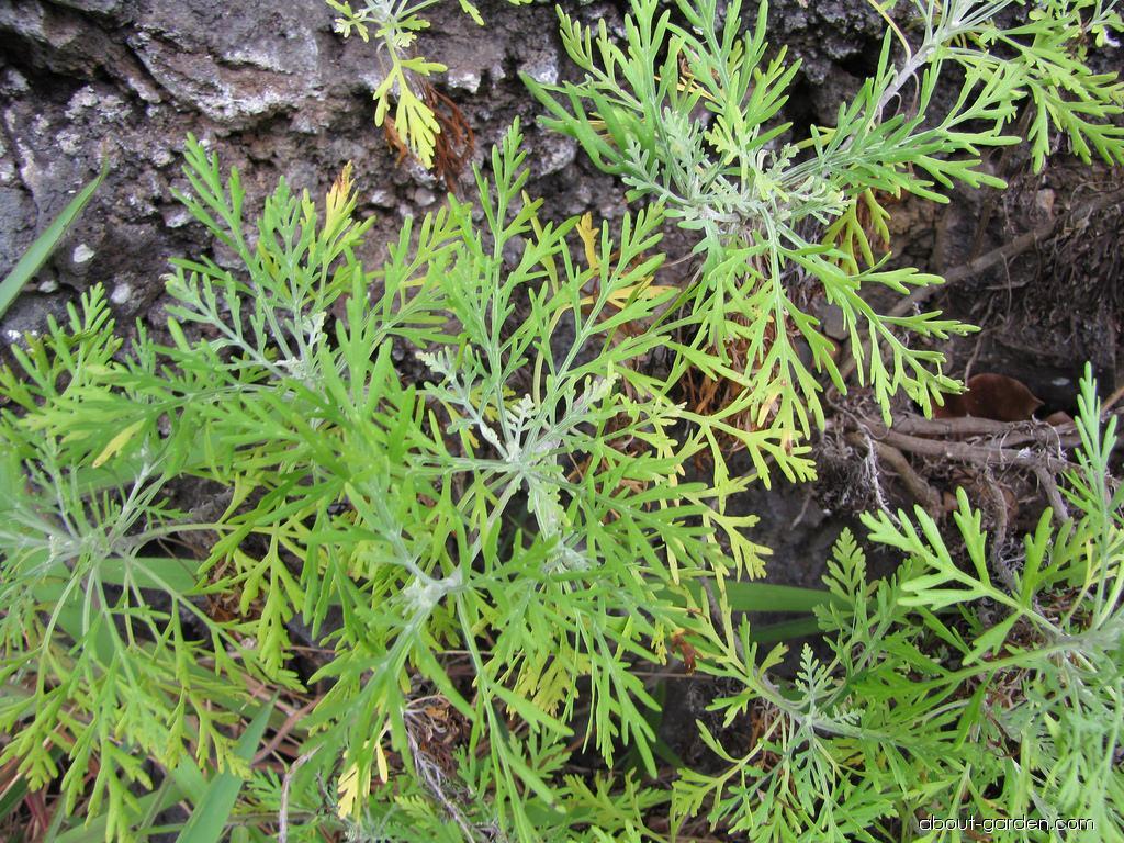 Oahu Wormwood - leaves (Artemisia australis)