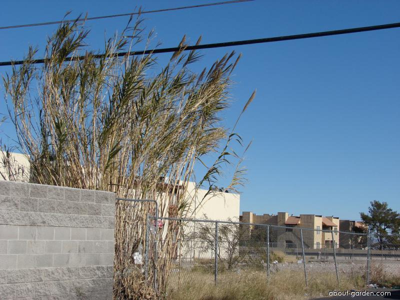 Giant Reed - habit (Arundo donax)