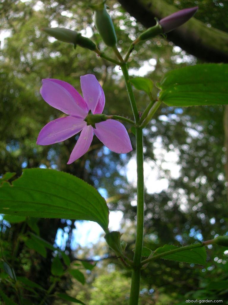 Pinkfringe - flower (Arthrostemma ciliatum)