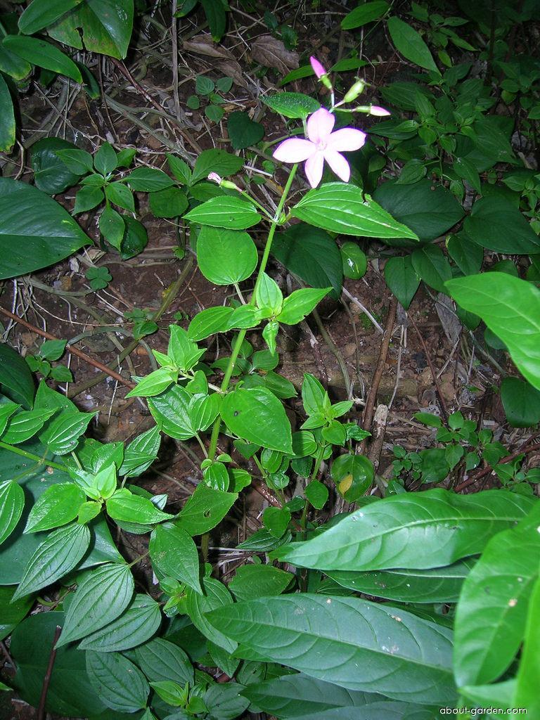 Pinkfringe - habit (Arthrostemma ciliatum)