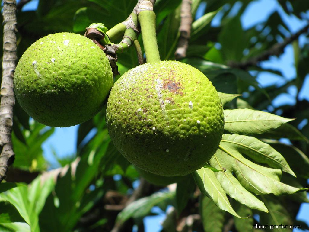 Breadfruit Tree - fruit (Artocarpus altilis)