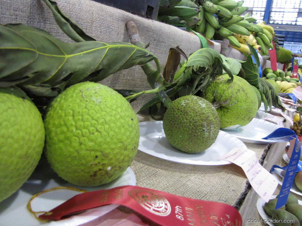 Breadfruit Tree - fruit (Artocarpus altilis)
