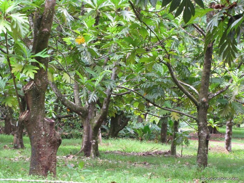 Breadfruit Tree - grove (Artocarpus altilis)