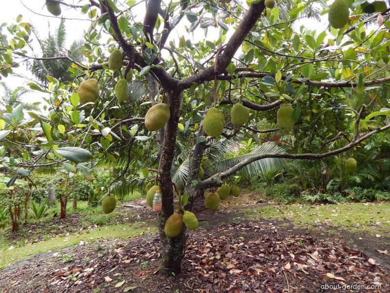 Jackfruit - fruiting habit (Artocarpus heterophyllus)