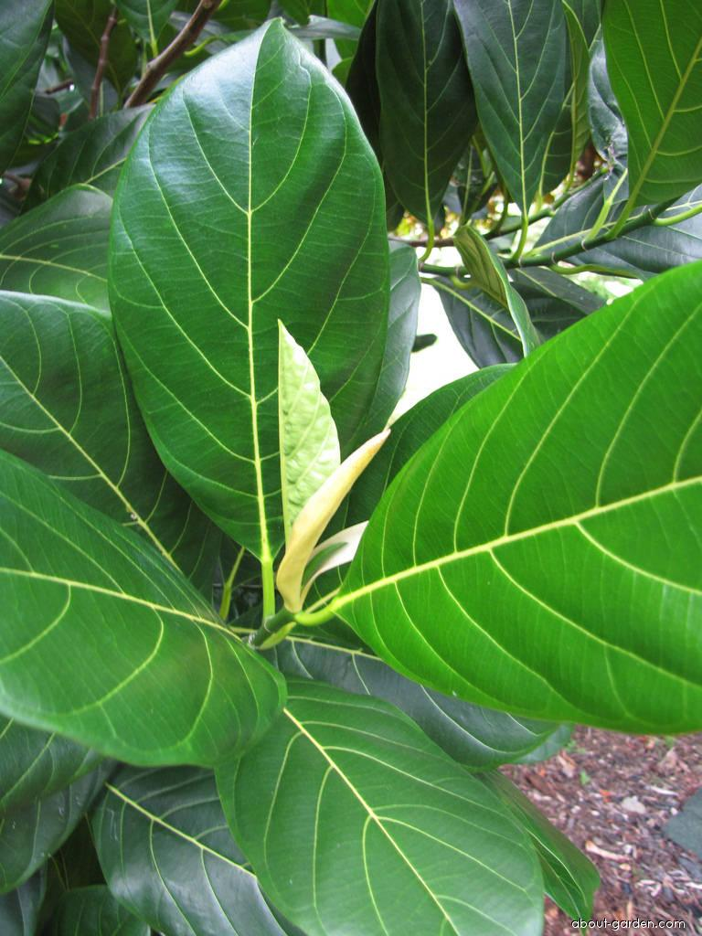 Jackfruit - leaves (Artocarpus heterophyllus)