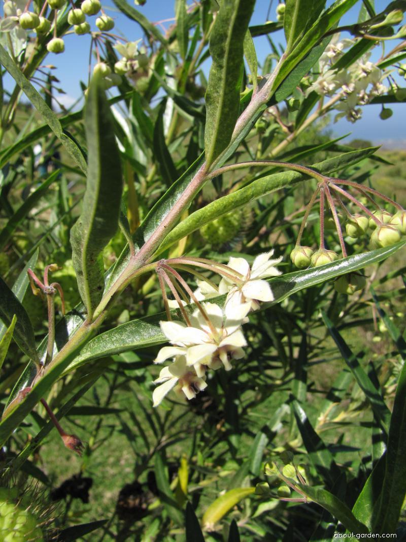 Balloon plant - flowers (Asclepias physocarpa)