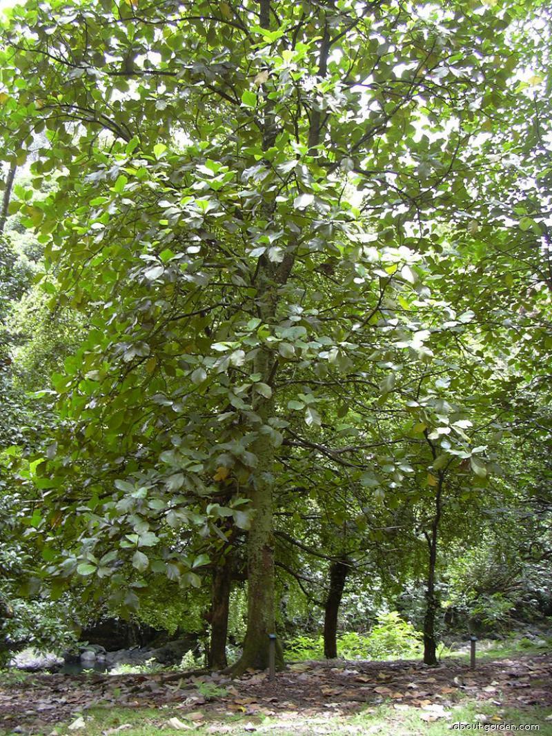 Marang - habit (Artocarpus odoratissimus)