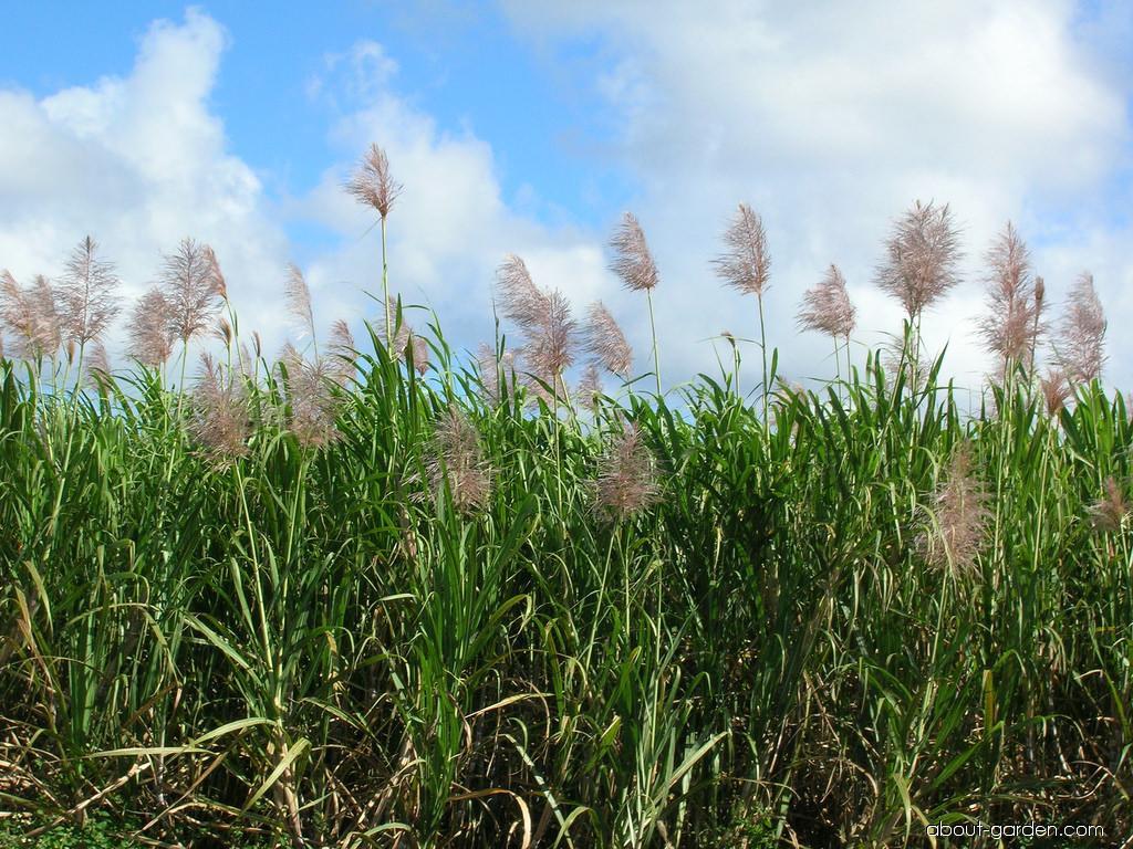 Sugar Cane (Saccharum officinarum)