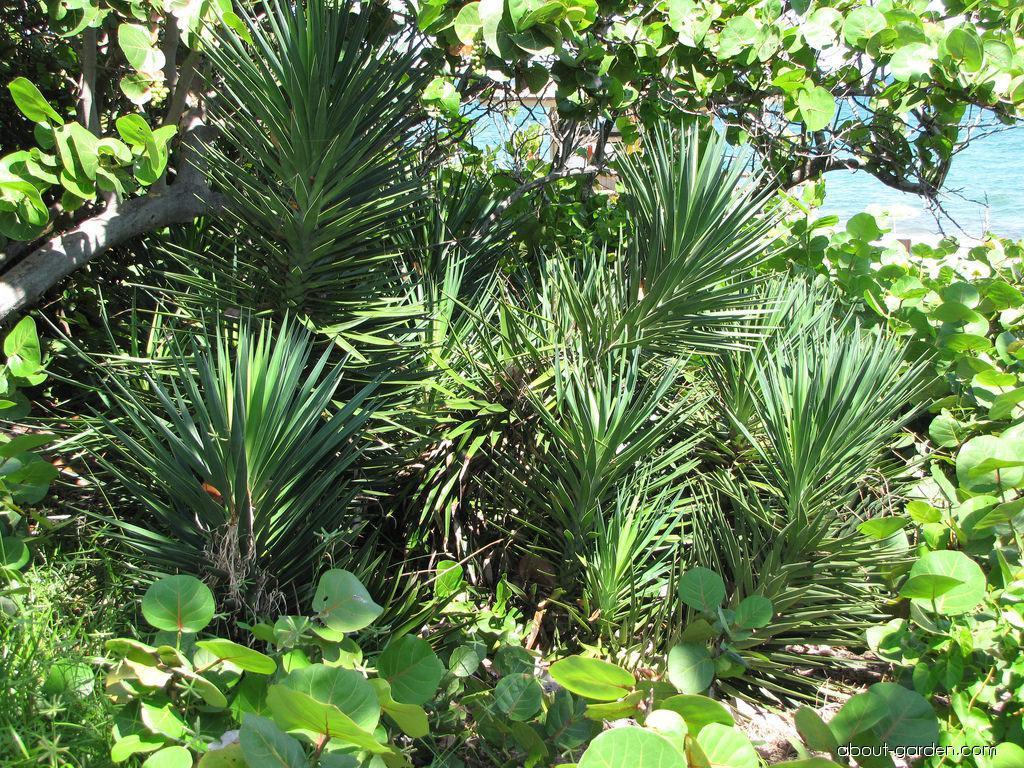 Aloe Yucca - habit (Yucca aloifolia)