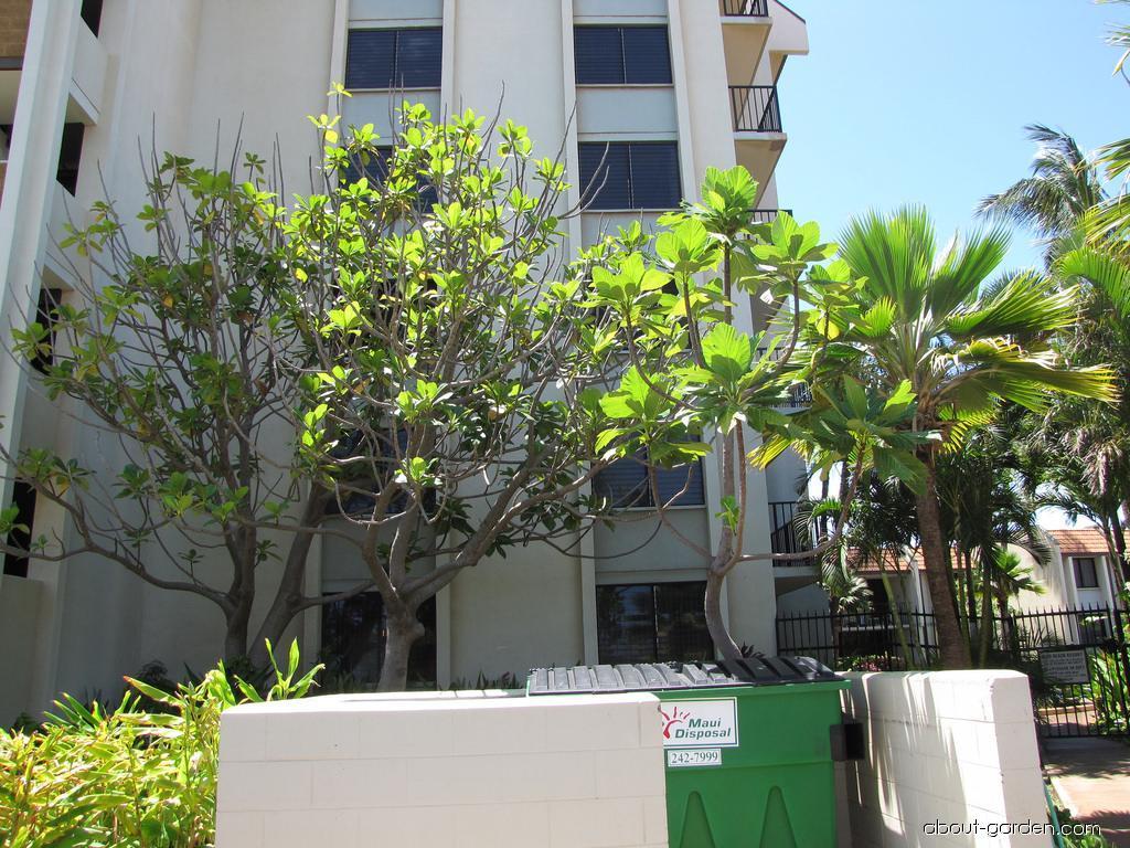 Gui mu - habit (Artocarpus nitidus subsp lingnanensis)