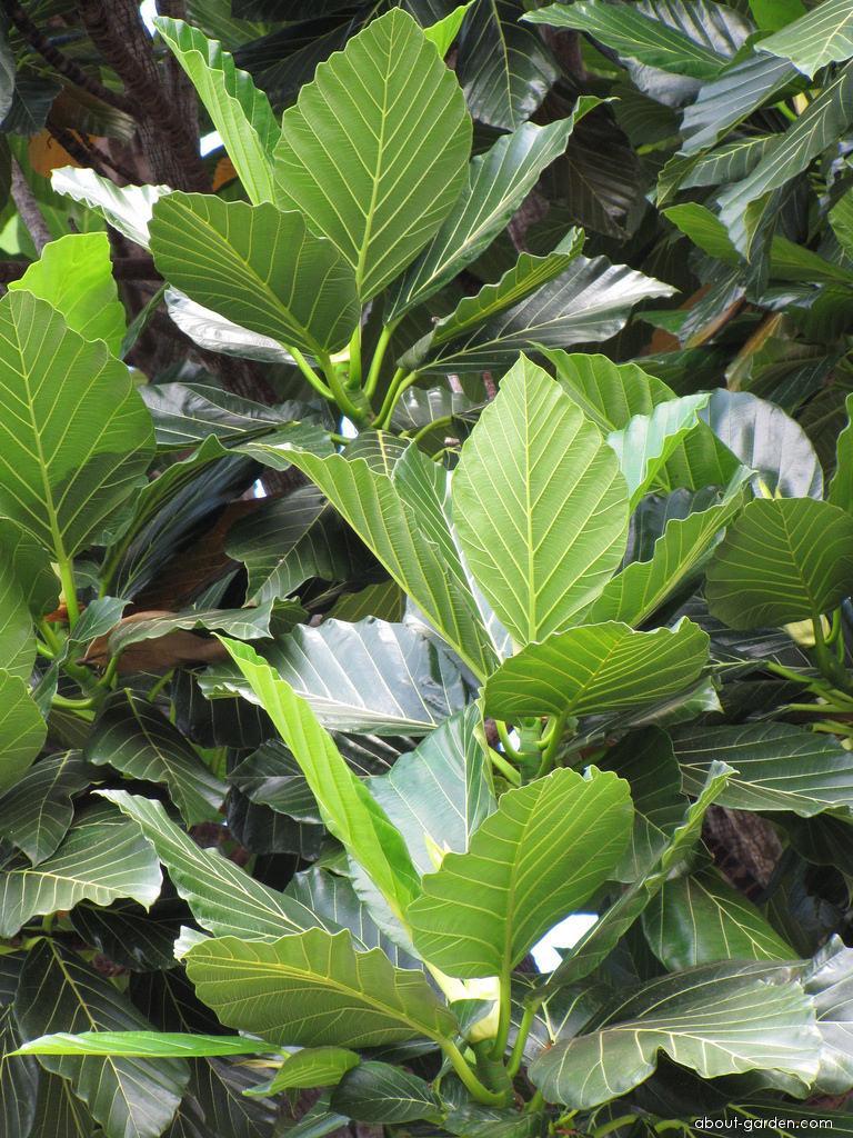 Gui mu - leaves (Artocarpus nitidus subsp lingnanensis)