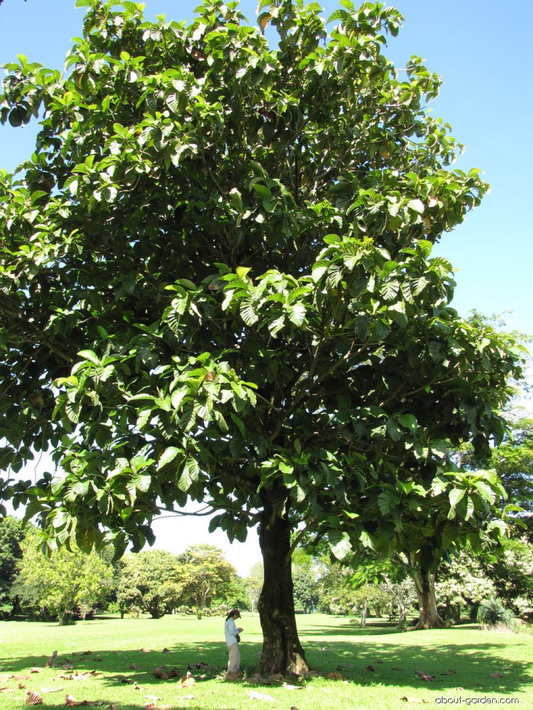 Pedalai - habit (Artocarpus sericicarpus)