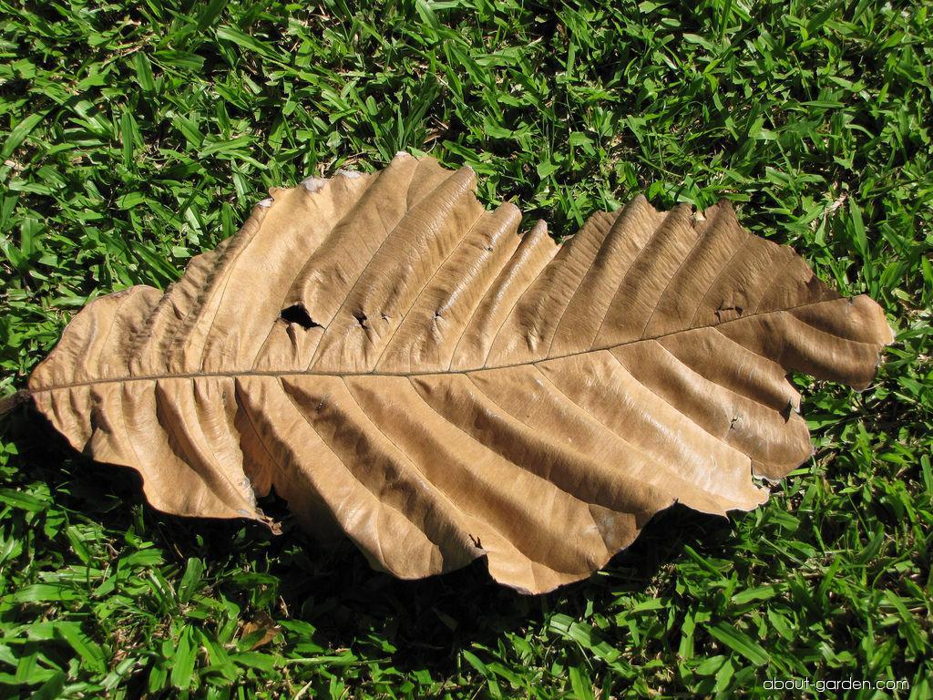 Pedalai - leaf (Artocarpus sericicarpus)