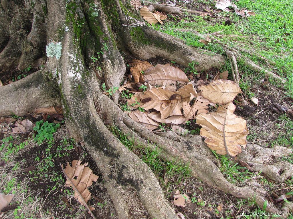 Pedalai - leaves (Artocarpus sericicarpus)