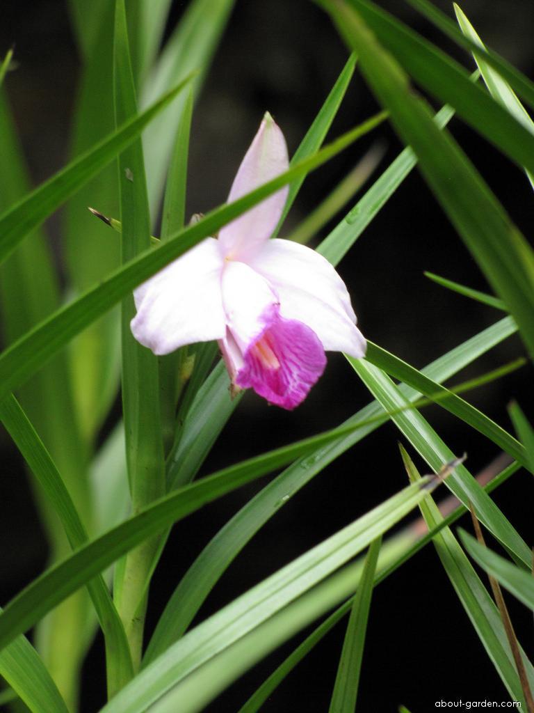 Bamboo Orchid - flower and leaves (Arundina graminifolia)