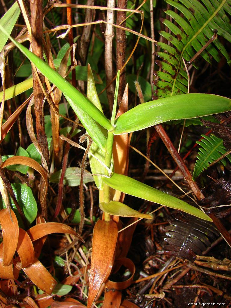 Bamboo Orchid - habit (Arundina graminifolia)