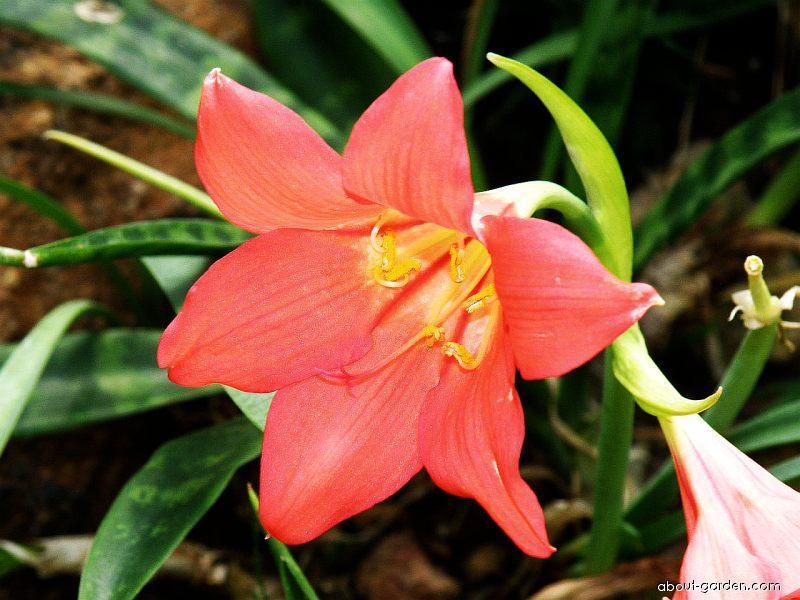 Cyrtanthus krvavý (Cyrtanthus sanguineus)