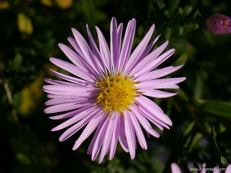 Rice Button Aster - Aster dumosus Rozika