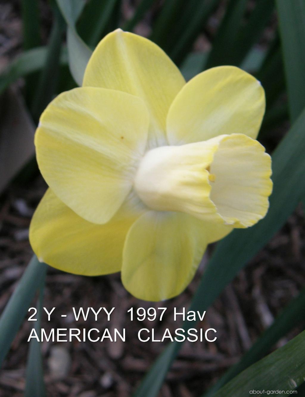 Daffodil - Narcissus American Classic
