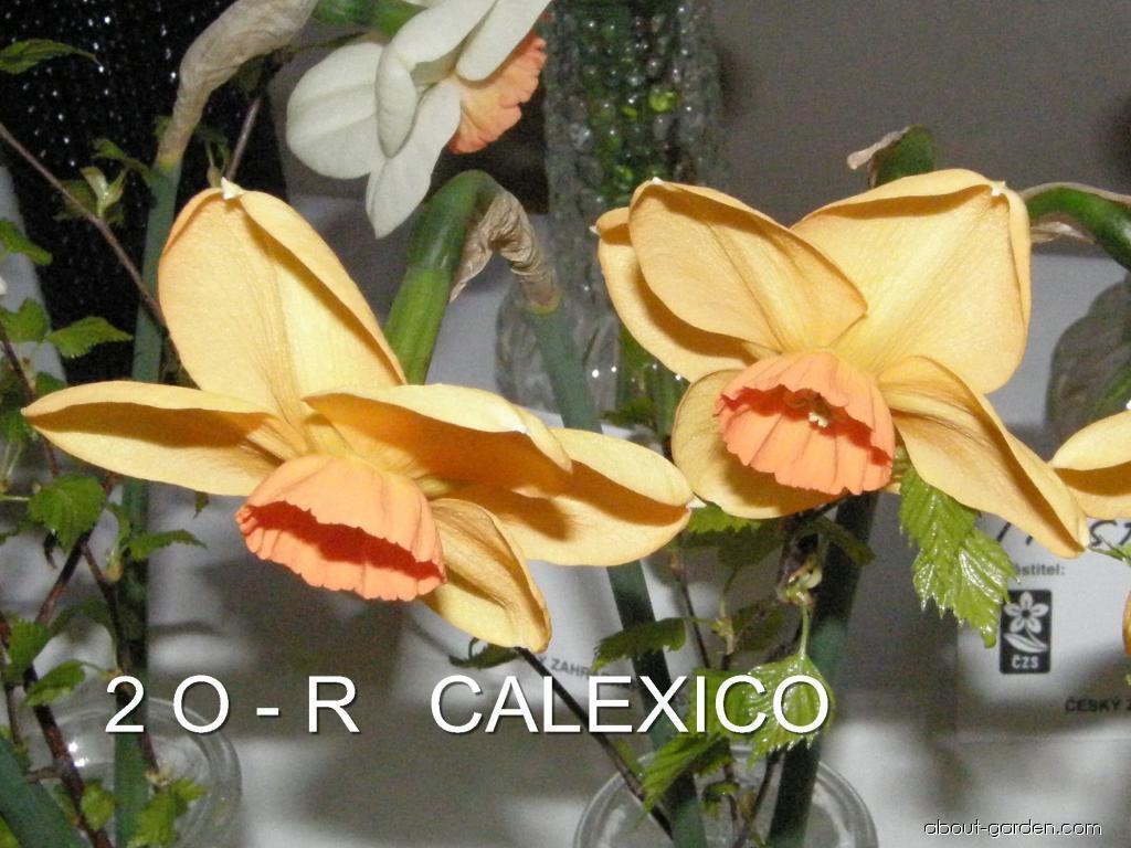 Daffodil - Narcissus Calexico