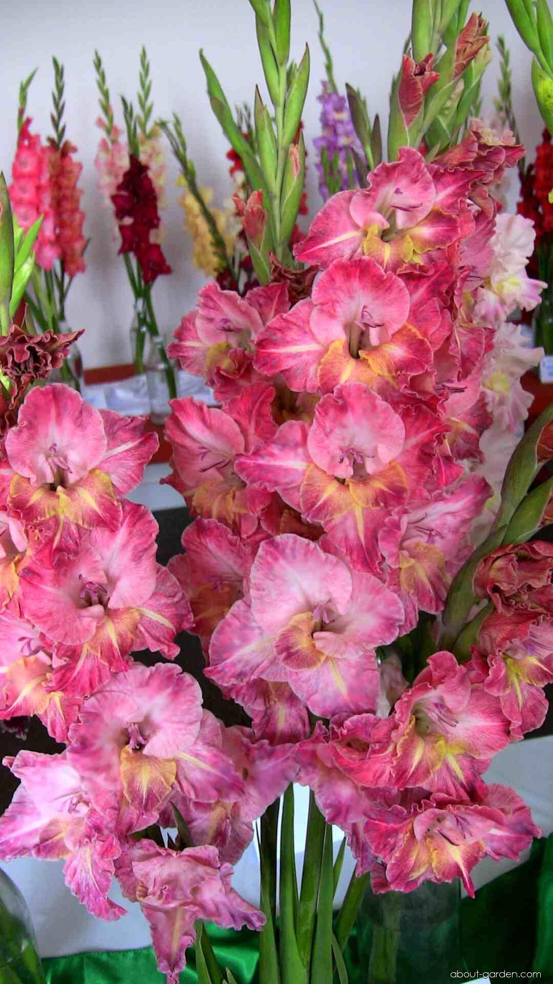 Gladiolus - Gladiolus Ó Sahara