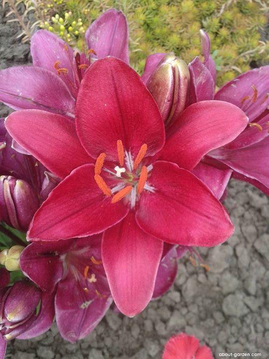 Lilie Crimsion Joy - Asijský nízký hybrid (Lilium x hybridum)