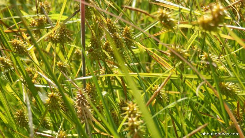 Ostřice rusá (Carex flava)
