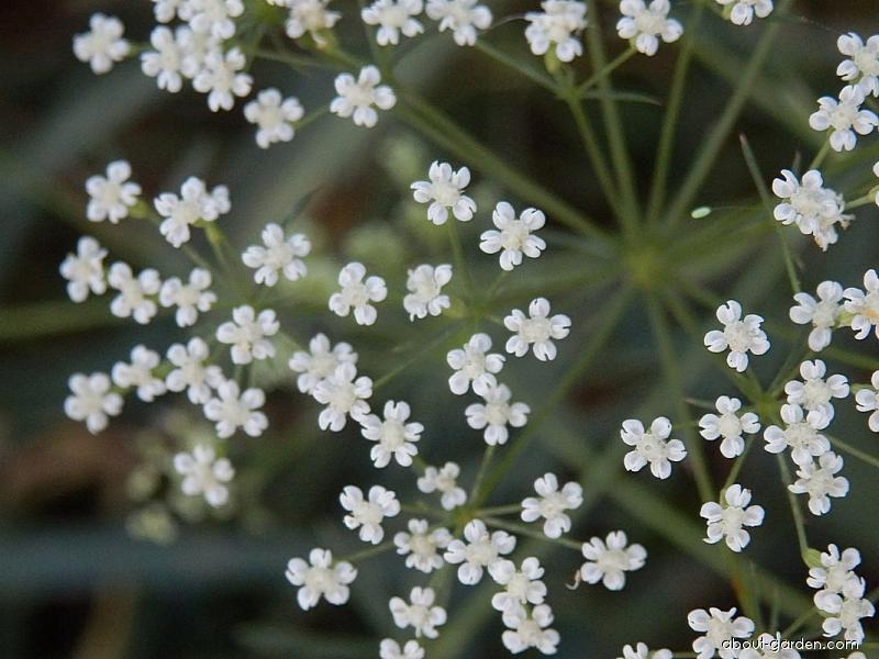 Srpek obecný - květy (Falcaria vulgaris)