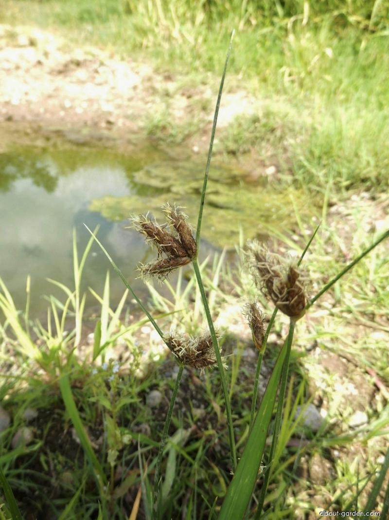 Kamyšník přímořský (Bolboschoenus maritimus)