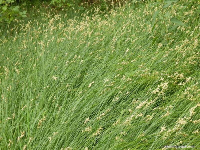 Ostřice třeslicovitá (Carex brizoides)