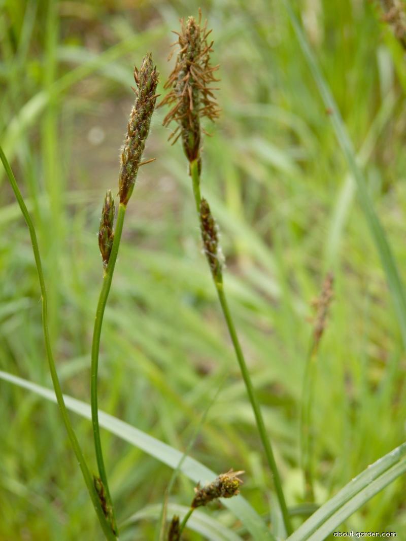 Ostřice oddálená (Carex distans)