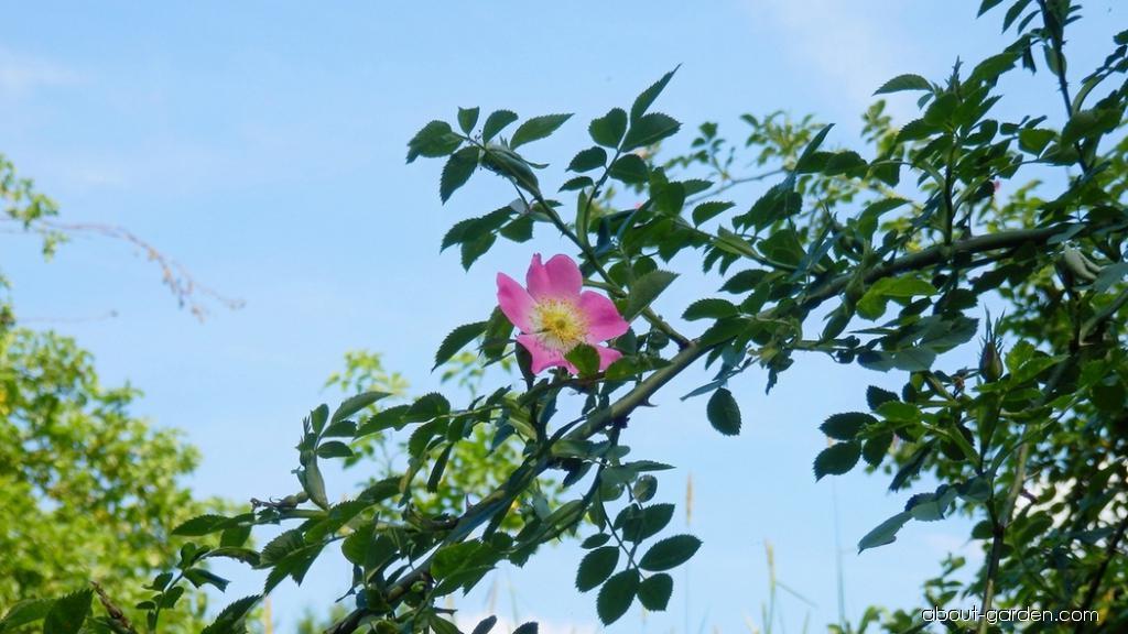 Růže šípková (Rosa canina)