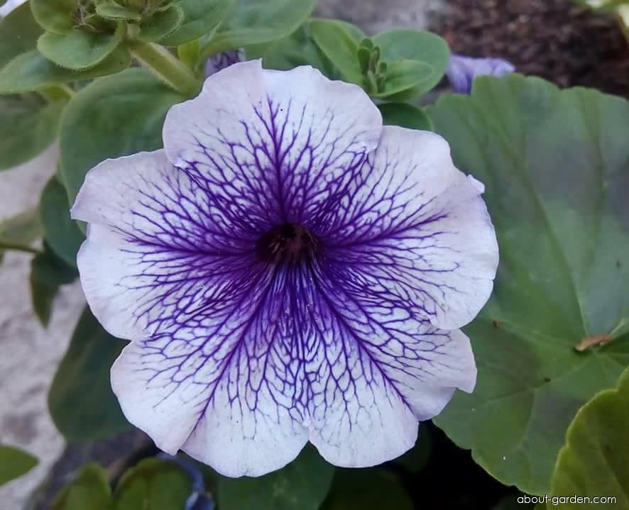 Petúnie (Petunia x hybrida)