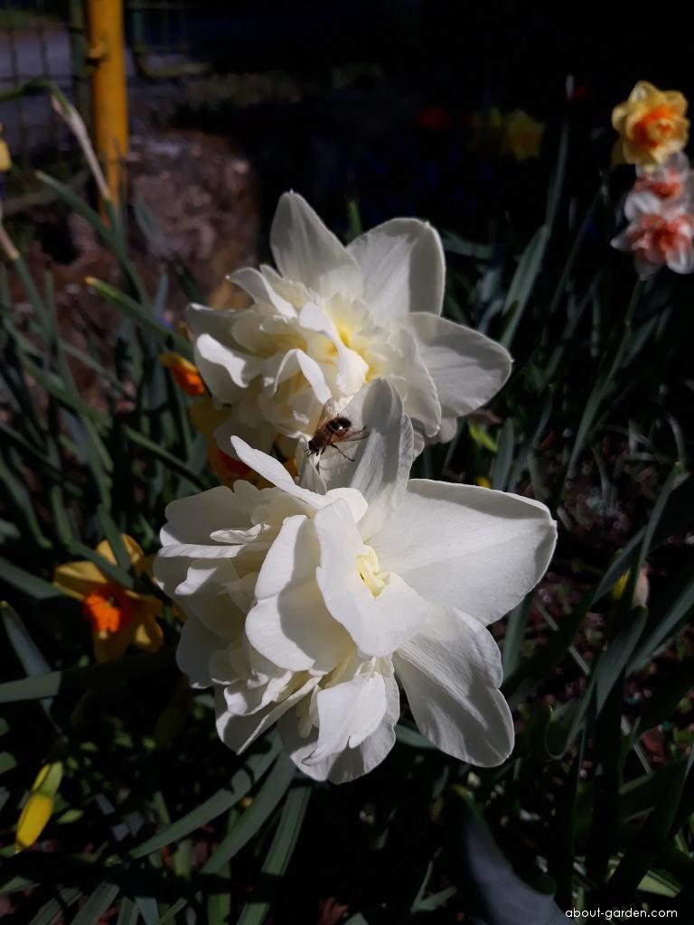 Daffodil - Narcissus Calgary