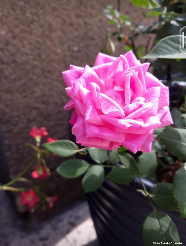 Rose - Rosa Hermosa