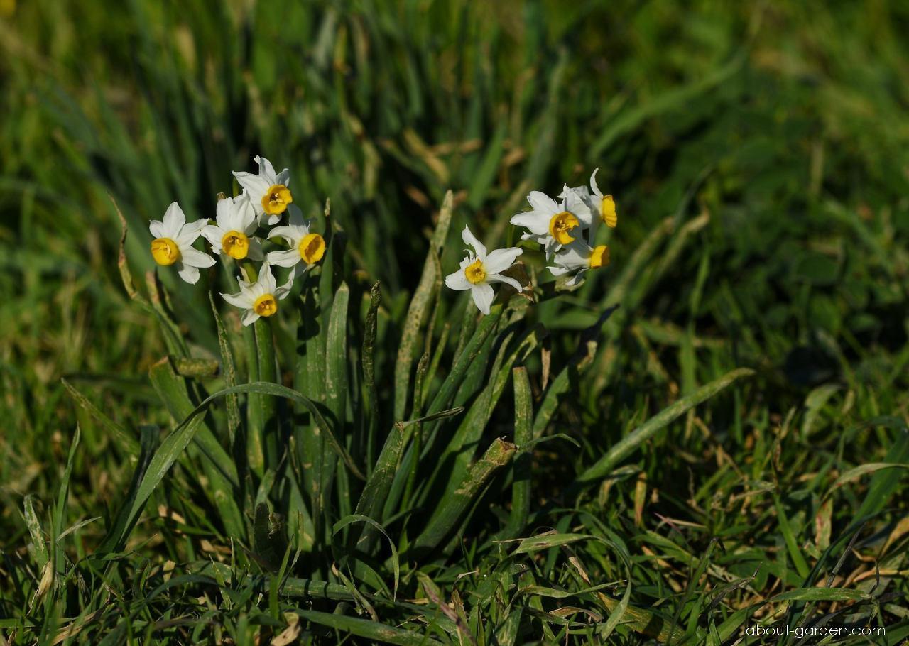Narcis taceta (Narcissus tazetta subsp tazetta)