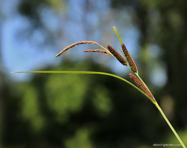 Ostřice černoklasá (Carex melanostachya)