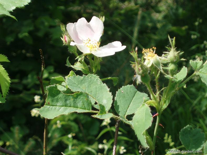 Růže Jundzillova (Rosa marginata)