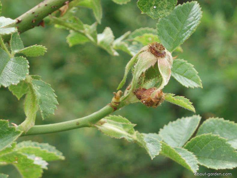 Růže malokvětá (Rosa micrantha)