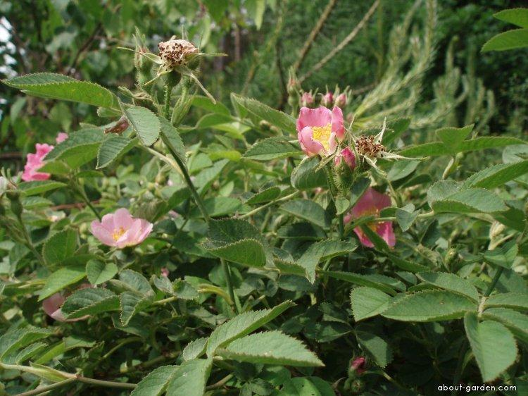 Růže Sherardova (Rosa sherardii)