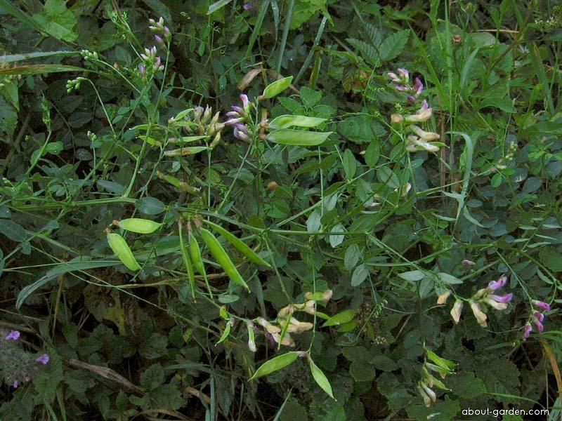 Vikev křovištní (Vicia dumetorum)