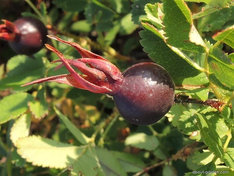Růže bedrníkolistá - plod (Rosa spinosissima)