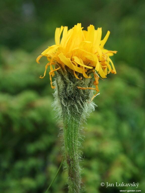 Prasetník jednoúborný (Hypochaeris uniflora)